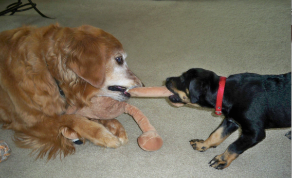 Dogs playing tug of war