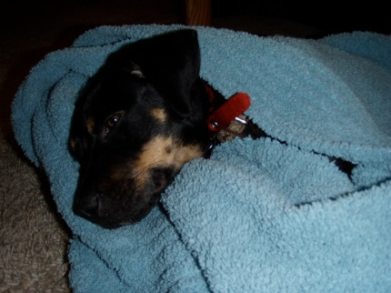 Puppy wrapped in a blanket.